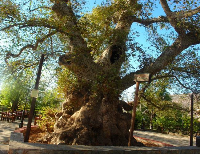 Один из старейших в мире платанов находится на Крите