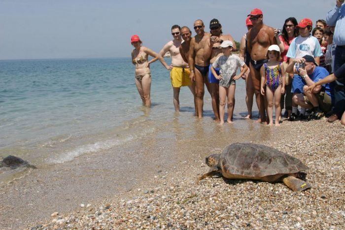 Mehr Nachwuchs bei Meeresschildkröten Caretta Caretta
