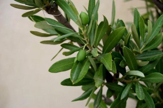 Branches de l'olivier envoyées de la Grèce à Rio de Janeiro