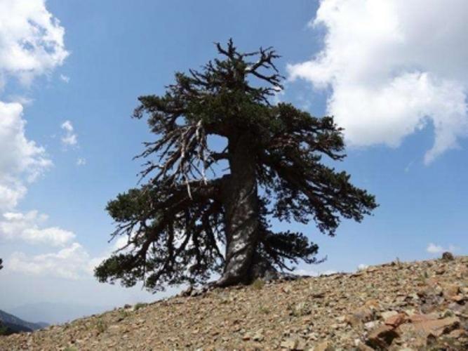 Самое древнее дерево в Европе