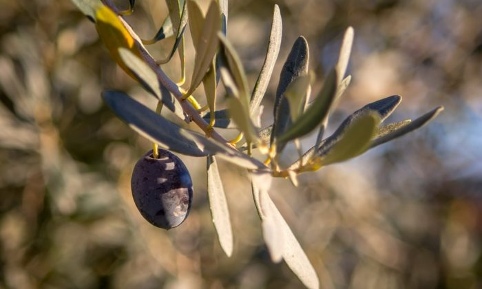 Delphi to Host International Olive Oil Competition