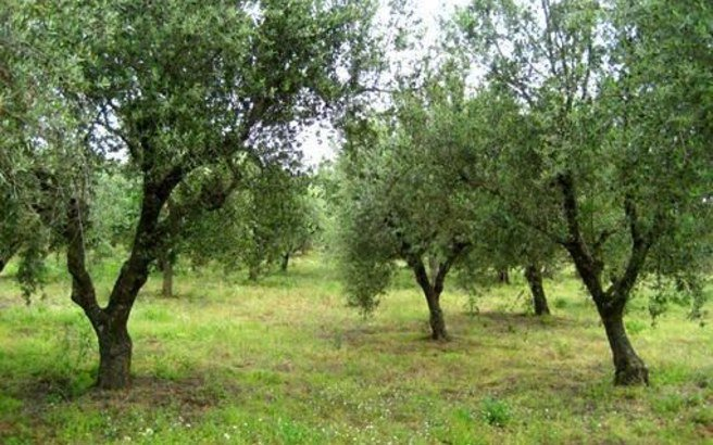 Greece to Implement Genetic Identification of Olive Tree Varieties